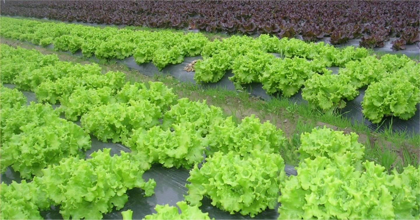 Le coin des raconteurs de salades central de l 39 asile forum fr - Quelle salade planter maintenant ...
