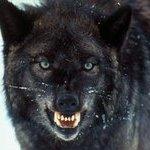 ThewolfAlone