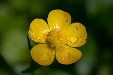 220px-Ranunculus_macro.jpg.82905639579bce7c07dc0bfa719fdd9d.jpg