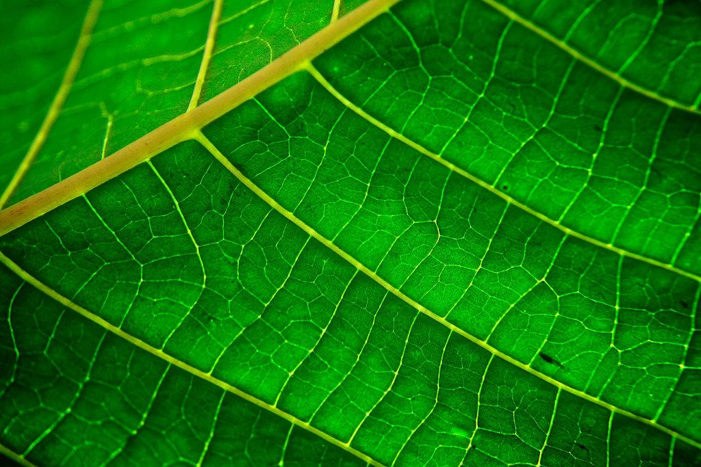 La photosynthèse (chez les végétaux)