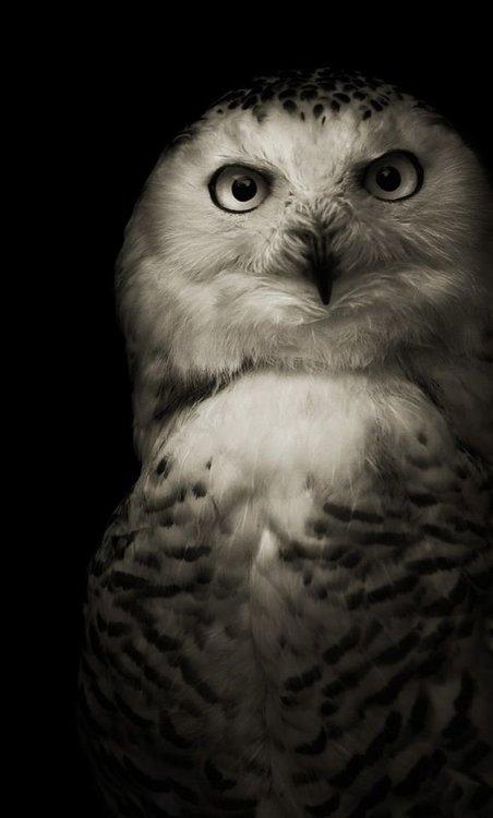 b23f92680891bb81598afd1ebd225f9e--black-backgrounds-owl-background.jpg