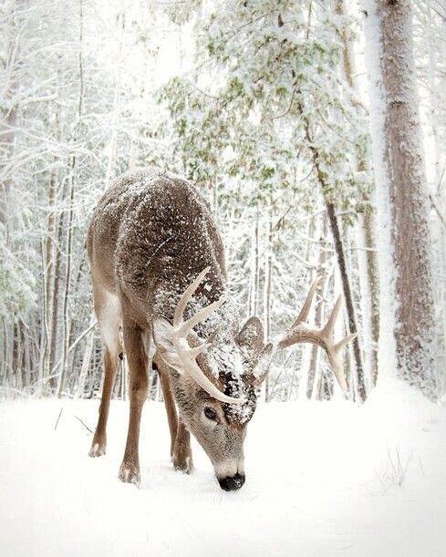 christmas-lovely-reindeer-snow-Favim.com-3837762.jpg
