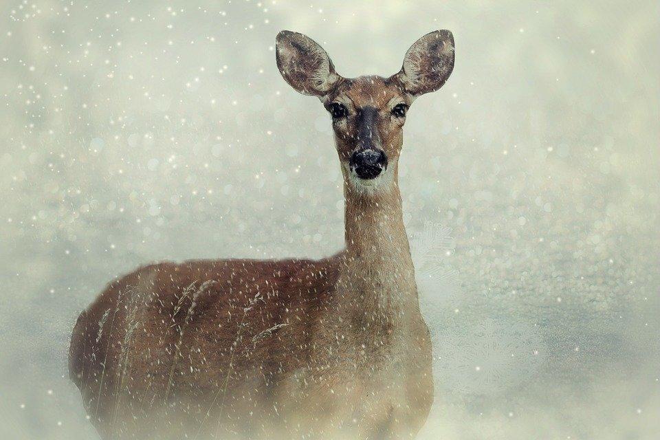 roe-deer-2923854_960_720.jpg