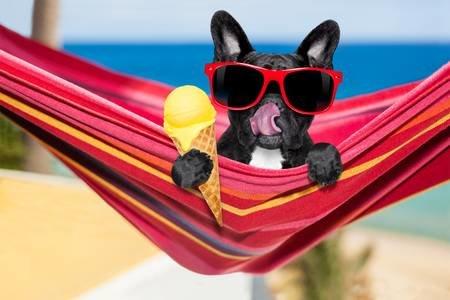 59637374-francés-bulldog-en-la-hamaca-en-la-playa-de-relax-en-vacaciones-de-las-vacaciones-de-verano-comiendo-u.jpg