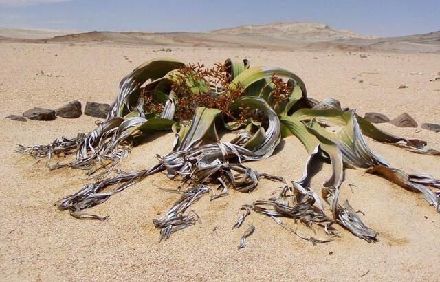 640x410_welwitschia-mirabillis.jpg