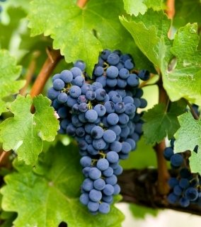 les-viticulteurs-observent-regulierement-une-maturation-precoce-du-raisin-sans-pour-autant-la-comprendre_70bfcd62c48d45bfd0174e9ed0b6b5faa9fa42ae.jpg