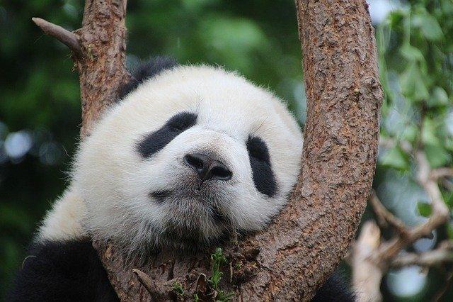 panda-1236875_640.jpg